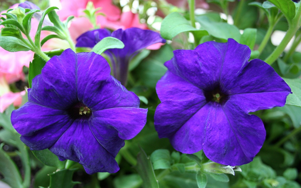 petunias floral plants free photo