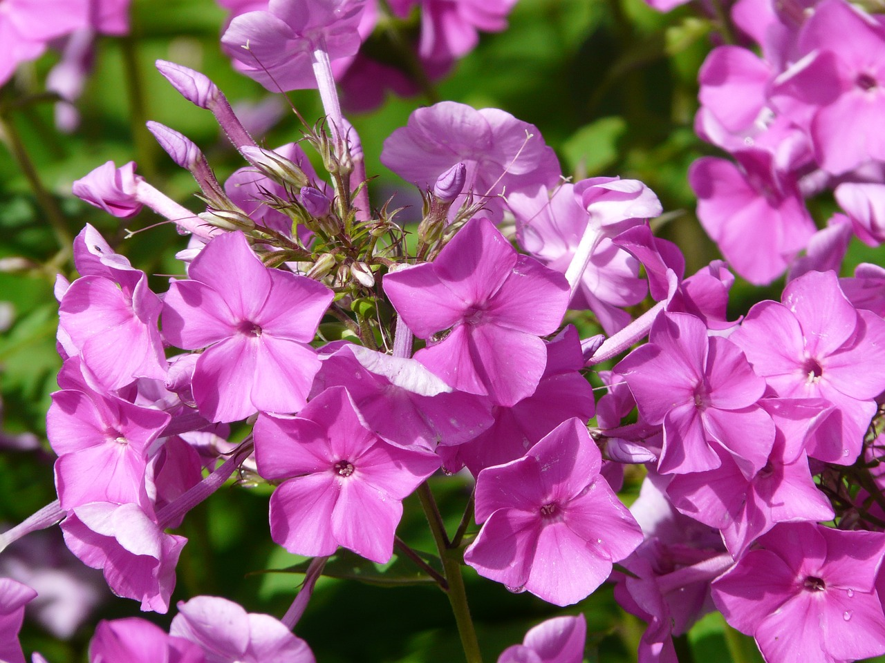 phlox flame flower flower free photo