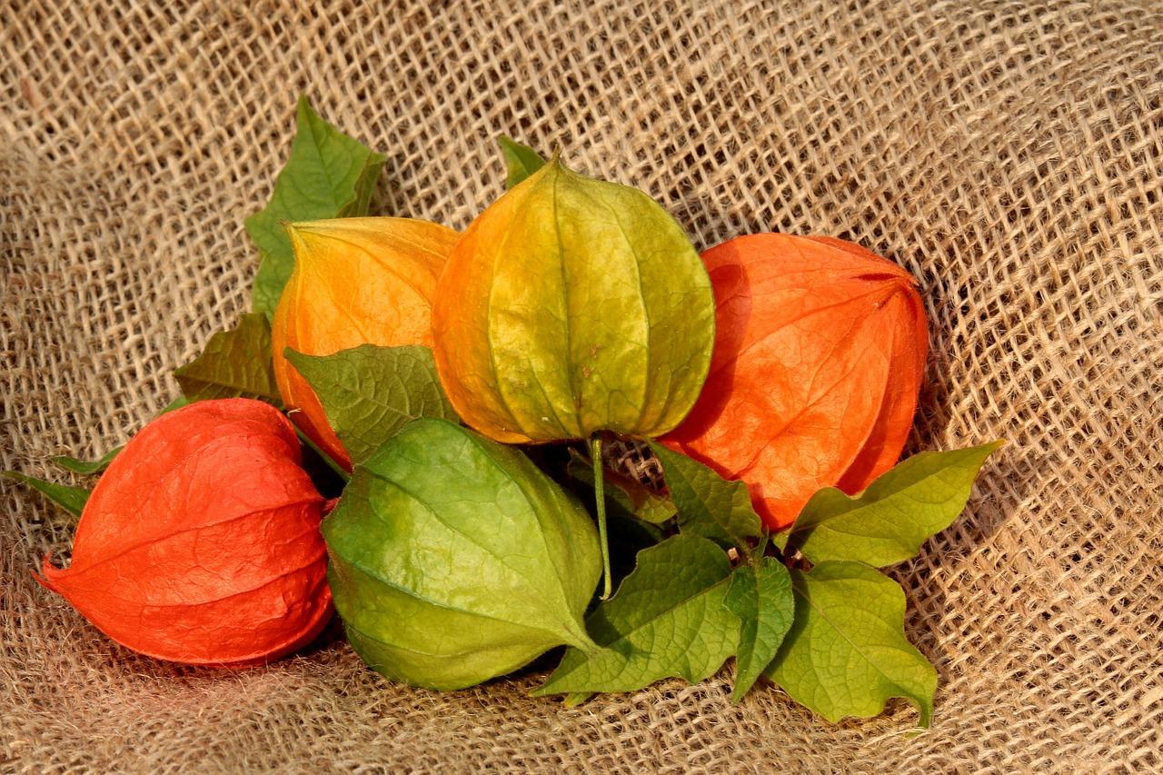 physalis flower plant autumn lanterns free photo from