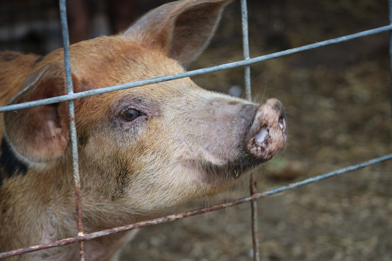 Pig, animal, farm, mammal, funny - free image from needpix.com