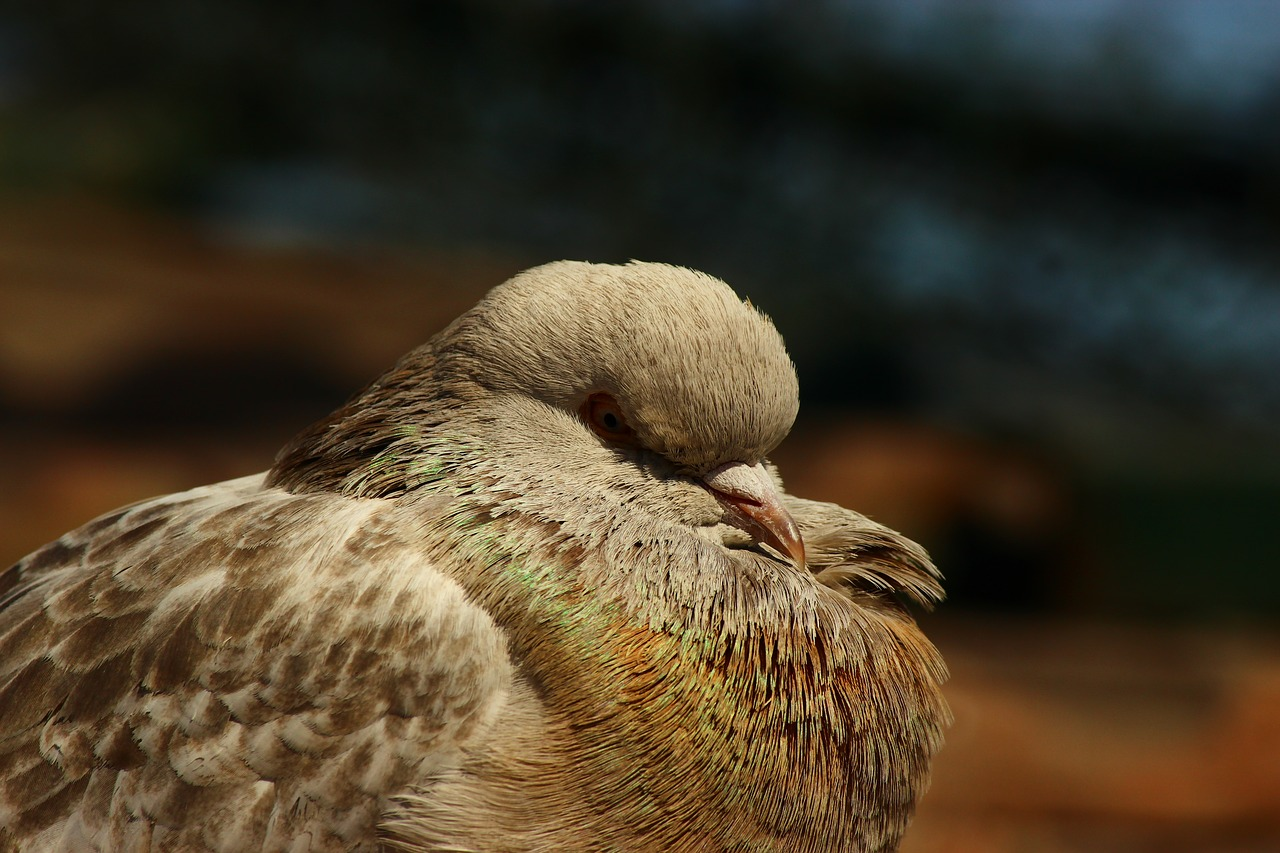 pigeon innocent birds sleep time free photo