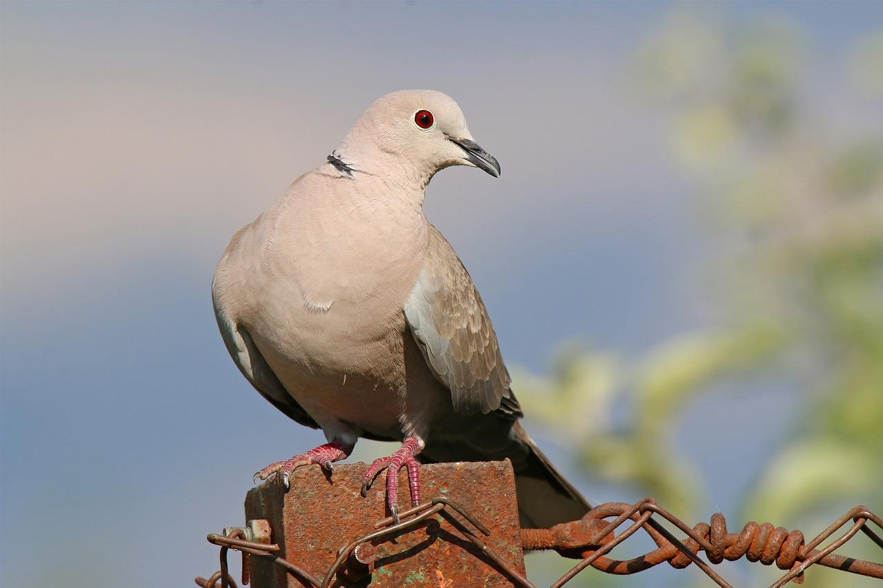 """Bildergebnis für stock dove, free"""""""
