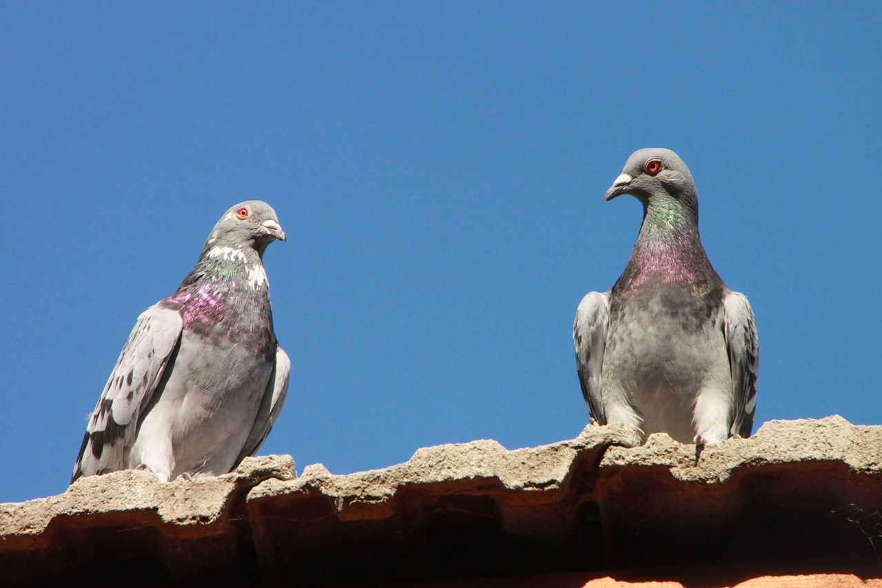 pigeons roof birds free photo