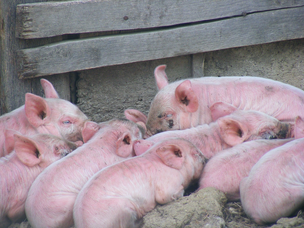 pigs livestock domestic free photo
