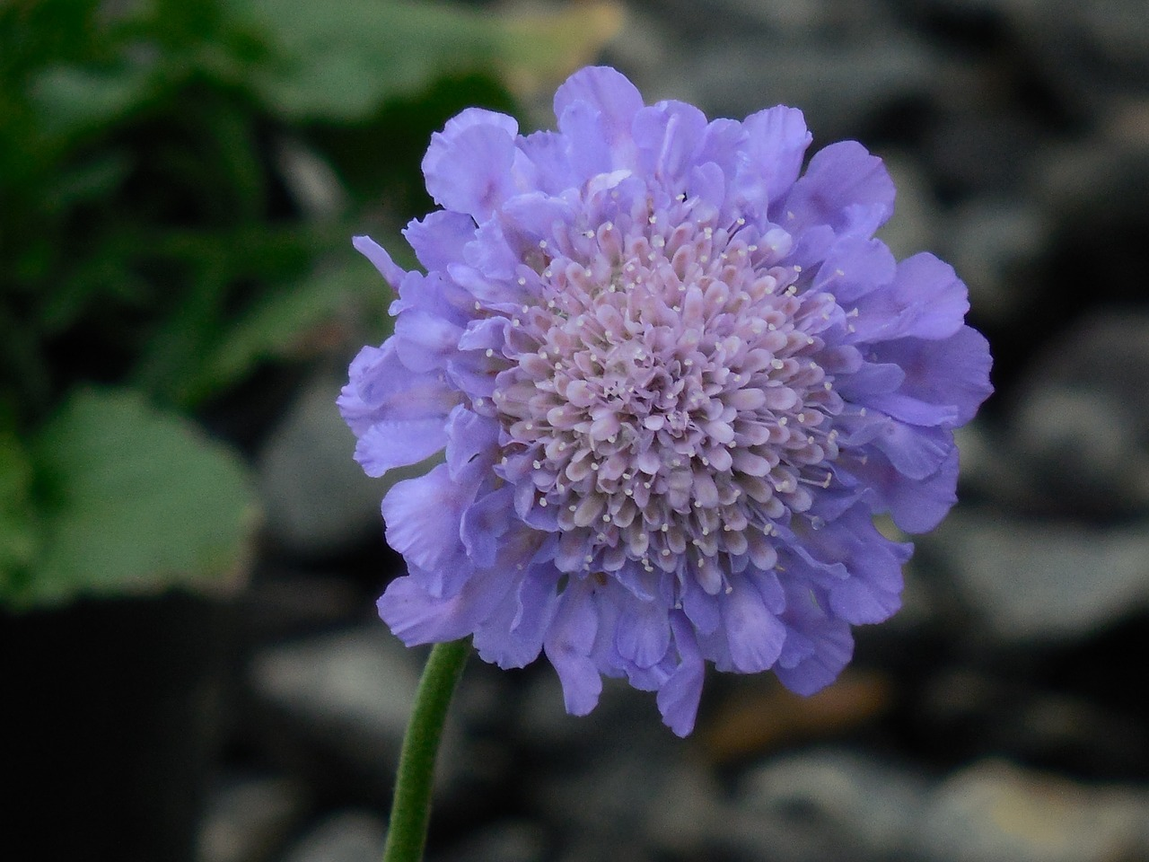 Pincushion Flowerbloompincushionflowerflora Free Photo From