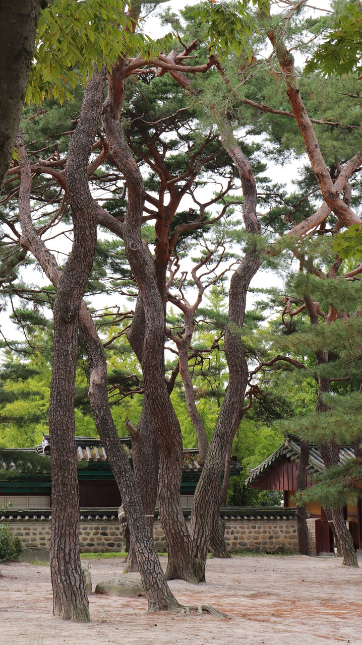 pine,tree,pinetree,pine tree,nature,natural,korea,korean,tradition,traditional,gyeongju,tour,tourism,travel,joseon,leaf,leaves,green,sky,blue,brown,trunk,tree trunk,clear,clean,relax,relaxing,calm,forest,sol,wood,the nature of the,south korea's,the tradition of,racing,shipbuilding,dynasty,joseon dynasty,the joseon dynasty,wipes,the leaves,this safari,these people,abstract,greenness,rust,go,stem,tree trunks,stability,acanthus,quiet,sunny,trees,rock,spring,asia,stone,white,season,park,garden,plant,south,outdoor,clouds,scenic,national,scenery,landscape,water,free pictures, free photos, free images, royalty free, free illustrations