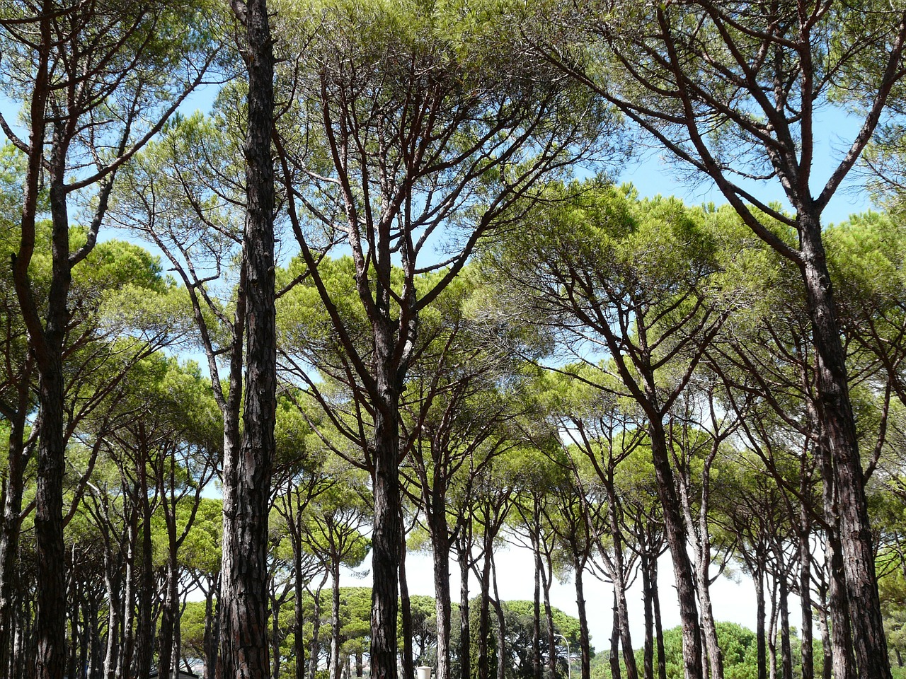 pine forest trees free photo