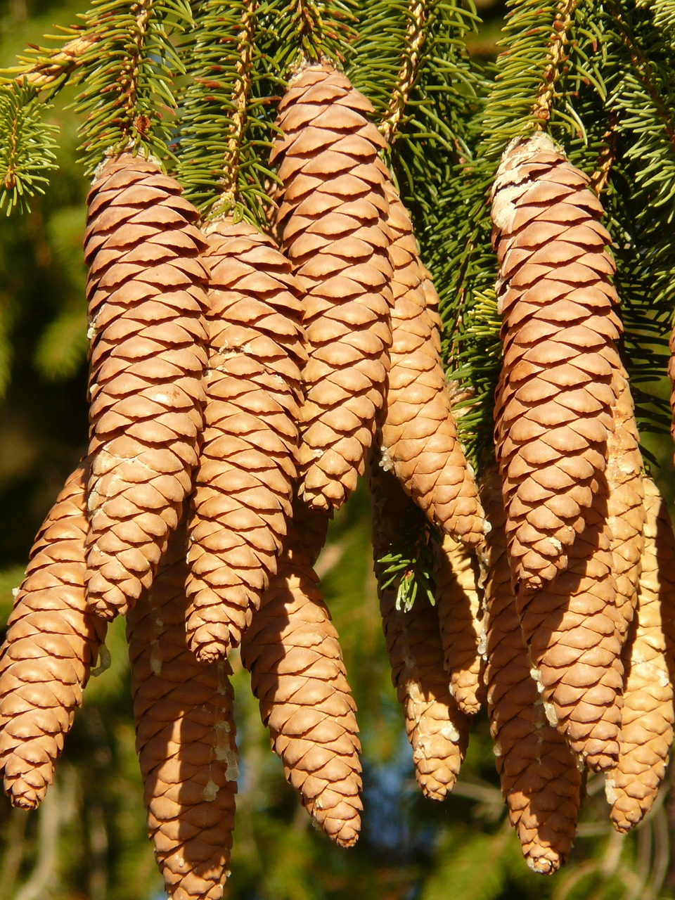 pine cones tap tree free photo