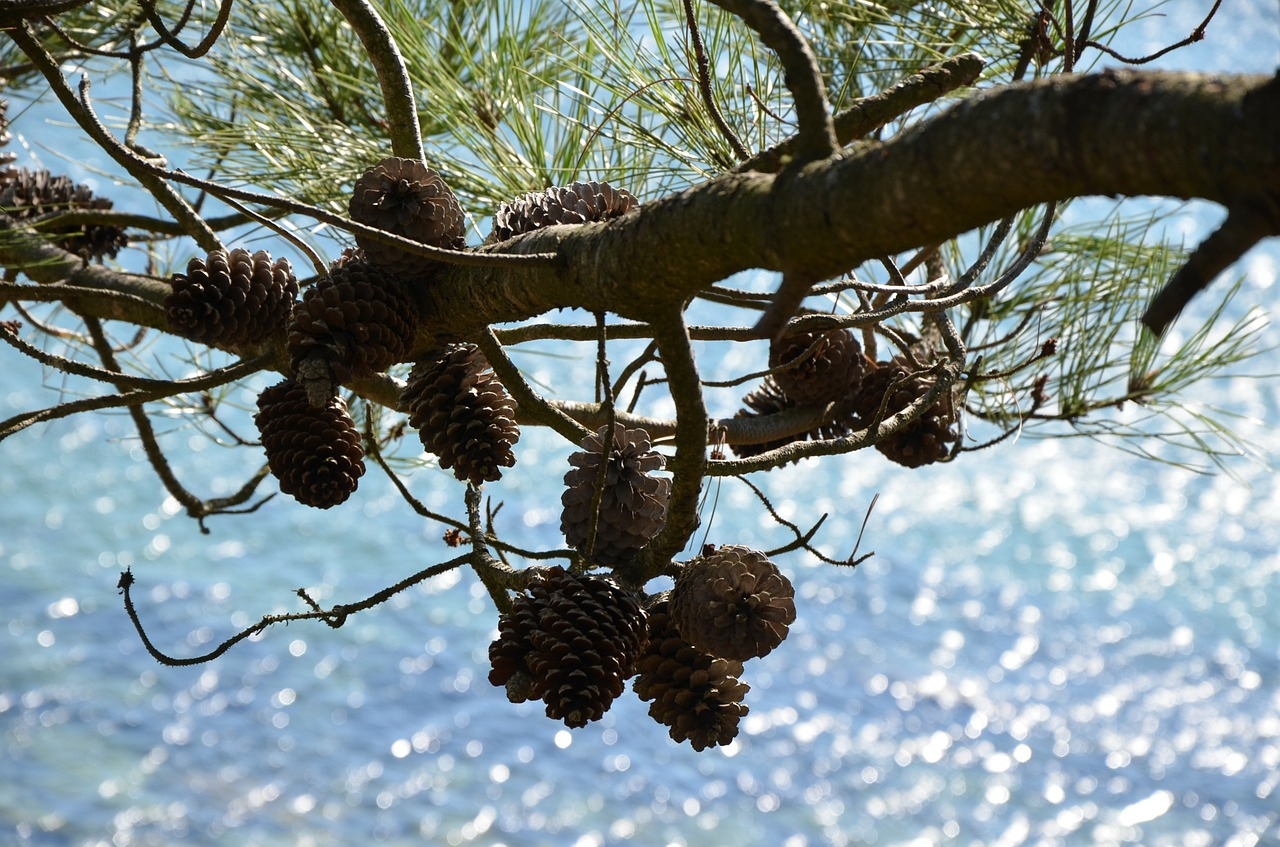 pine cones pine sea free photo