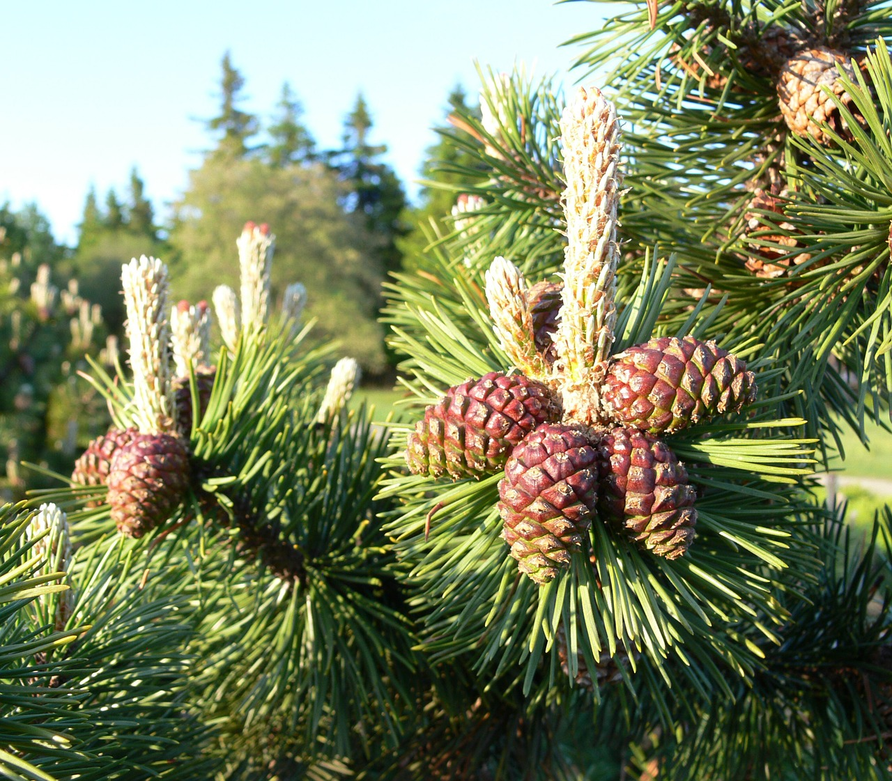 Loblolly pine tree for sale