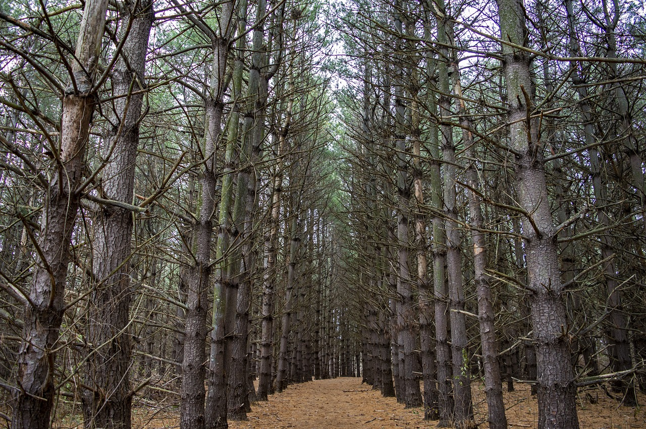 pines  pine trees  forest free photo
