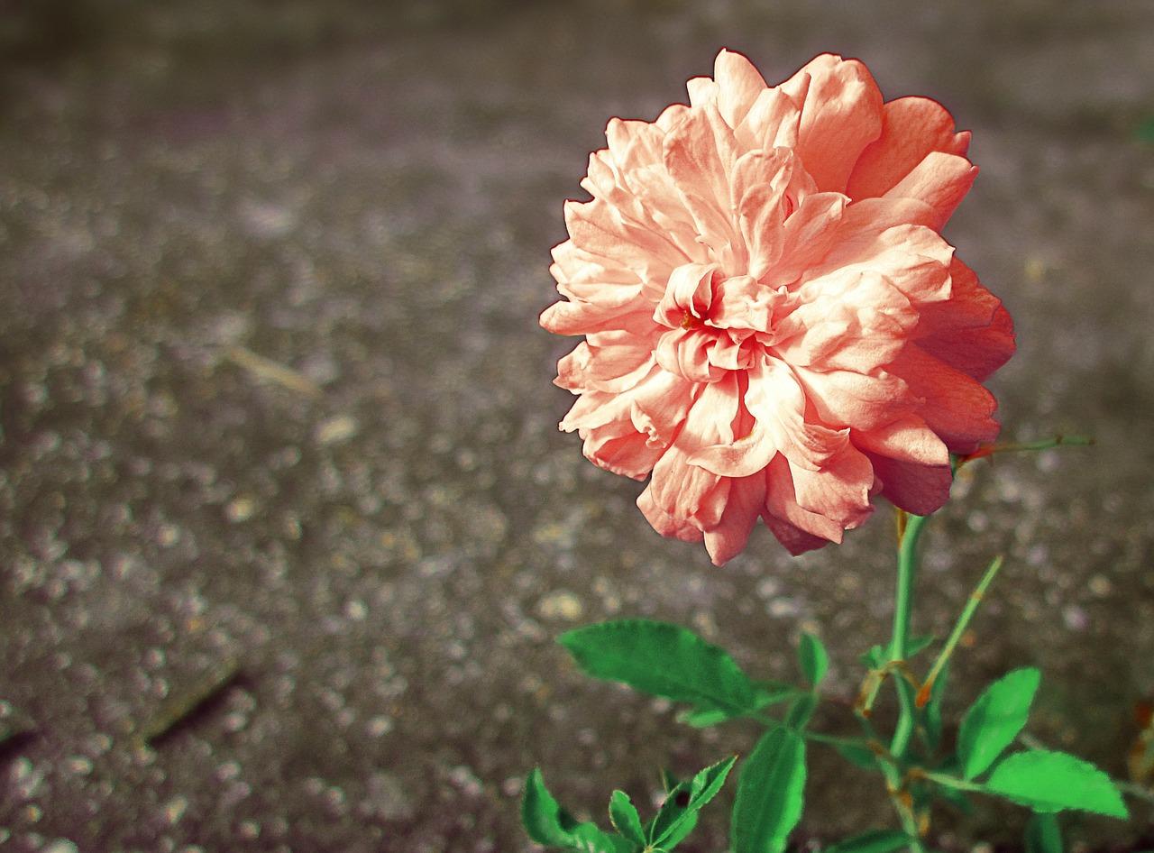 Pinkroseflowerpink Flowerpeach Free Photo From Needpix