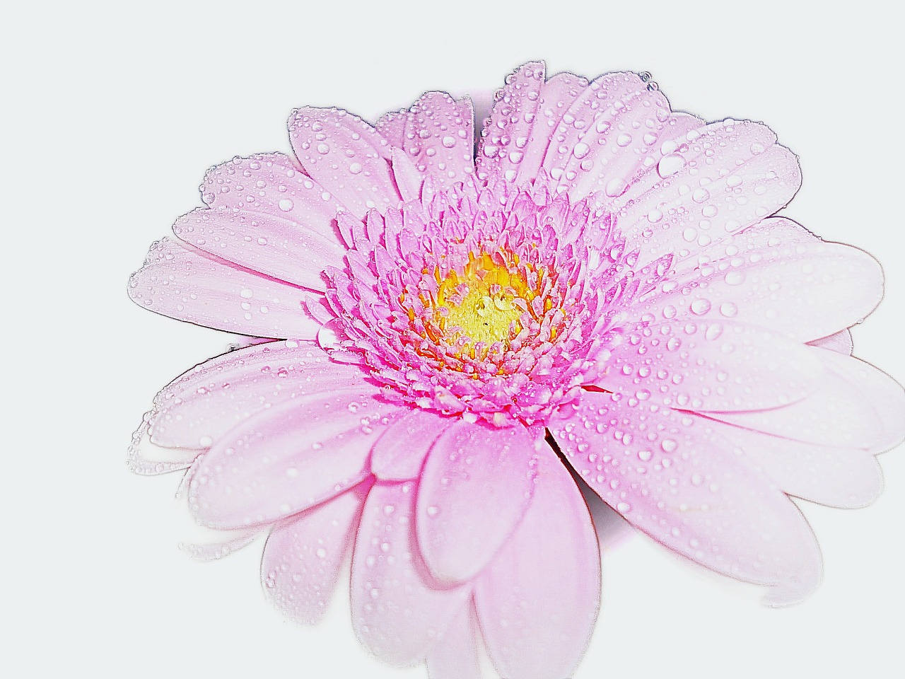 pink gerbera flower free photo