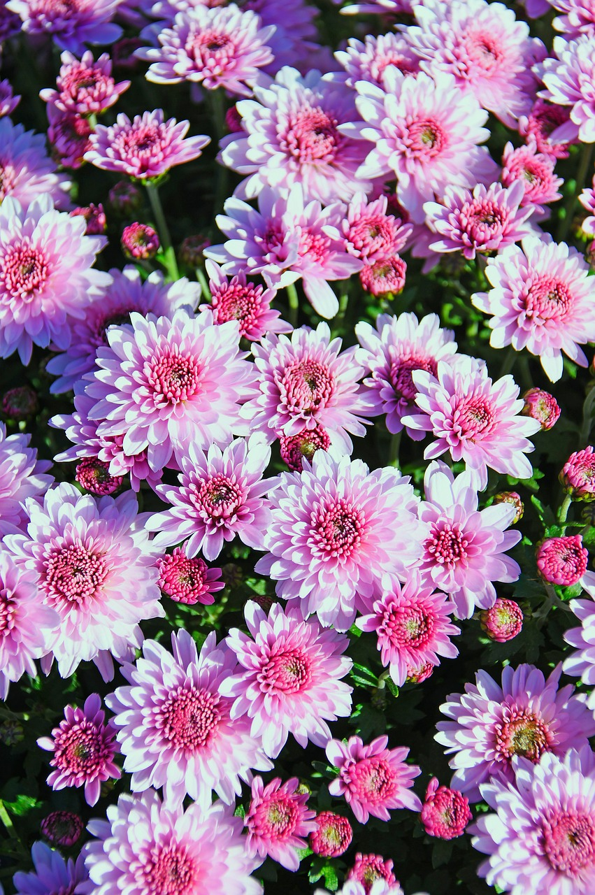 pink  pink chrysanthemum  bloom free photo