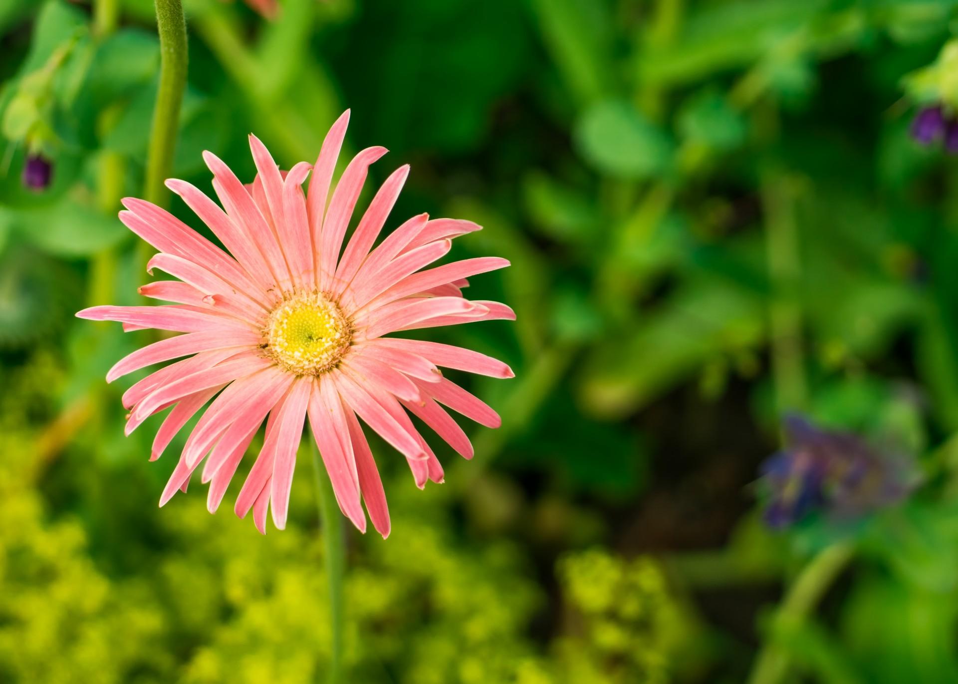Pinknbspdaisynbsptypenbspflowermacronbspphotographyflower