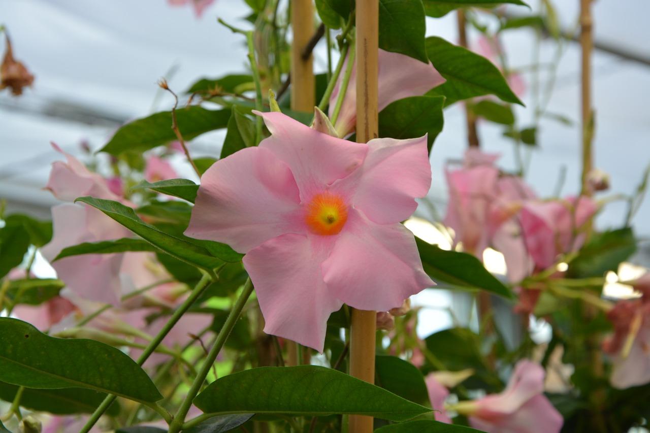 Pink Flowerflower Vinegardennaturescent Free Photo From
