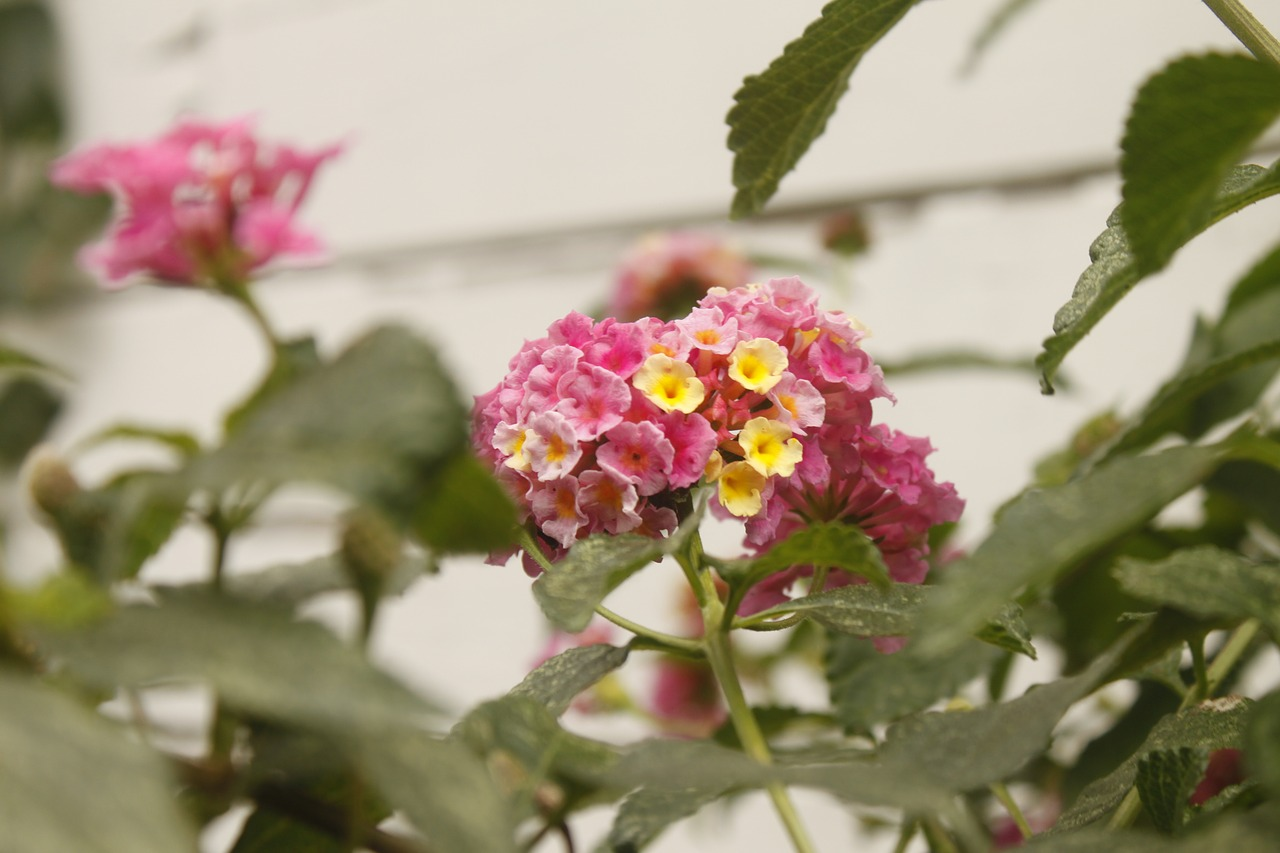pink flower,lantana,nature,free pictures, free photos, free images, royalty free, free illustrations