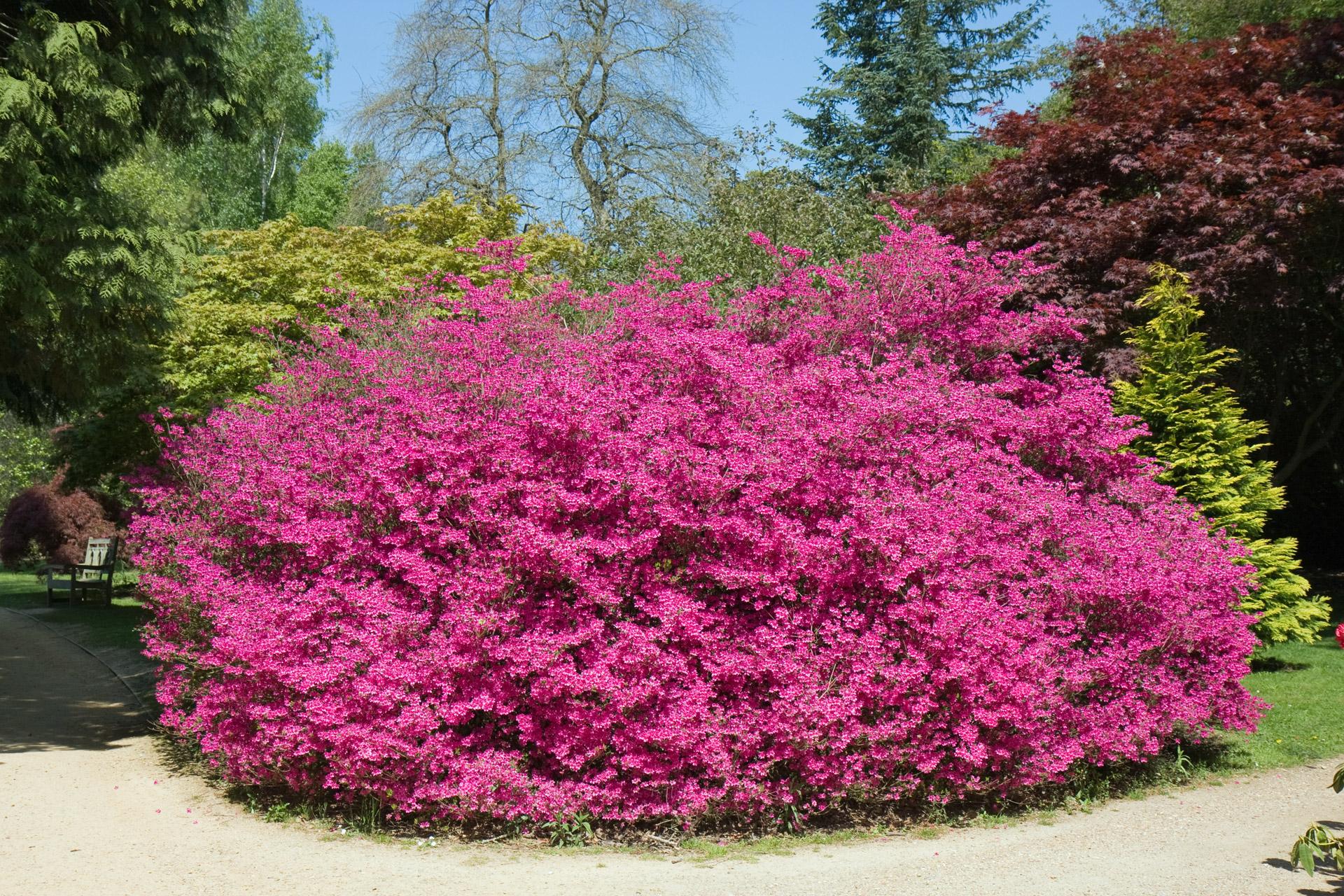 Pinkbushfloweringflowersshrub Free Photo From Needpix