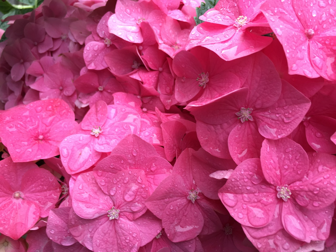 Pink Flowersbackgroundpinkflowerbeautiful Free Photo From