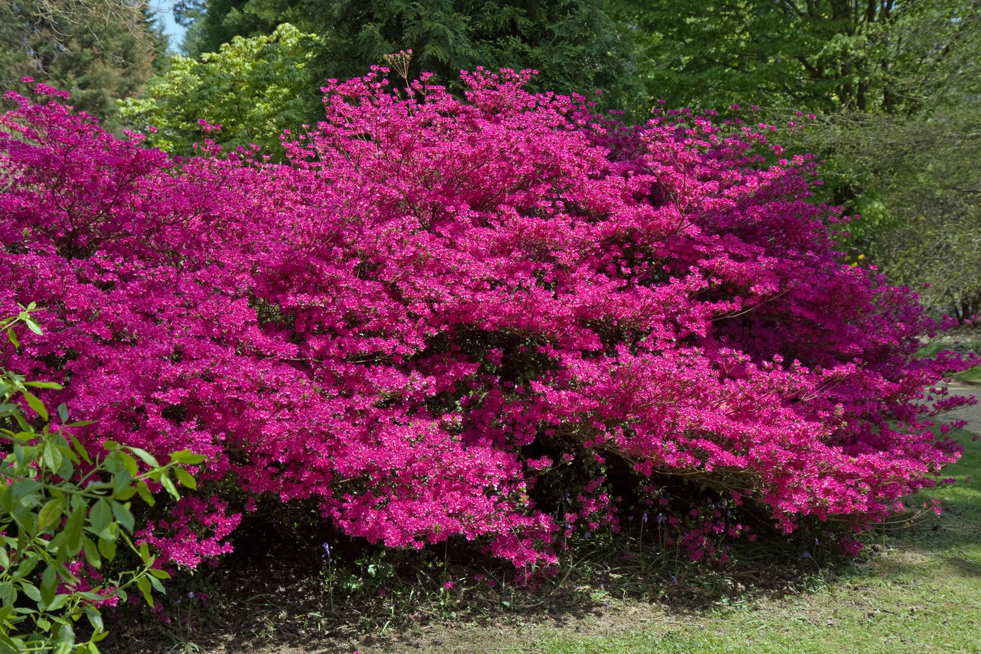 Bush Shrub Pink Pretty Flowers Free Image From Needpix Com