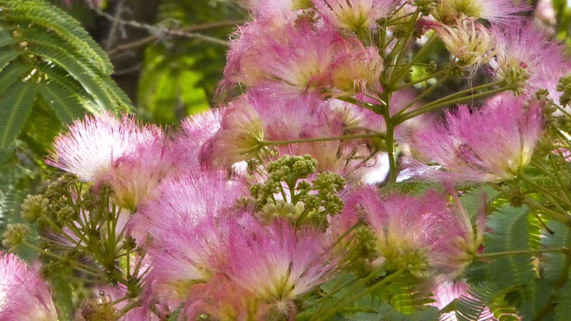 Flowerflowersfuzzypinktree Free Photo From Needpix
