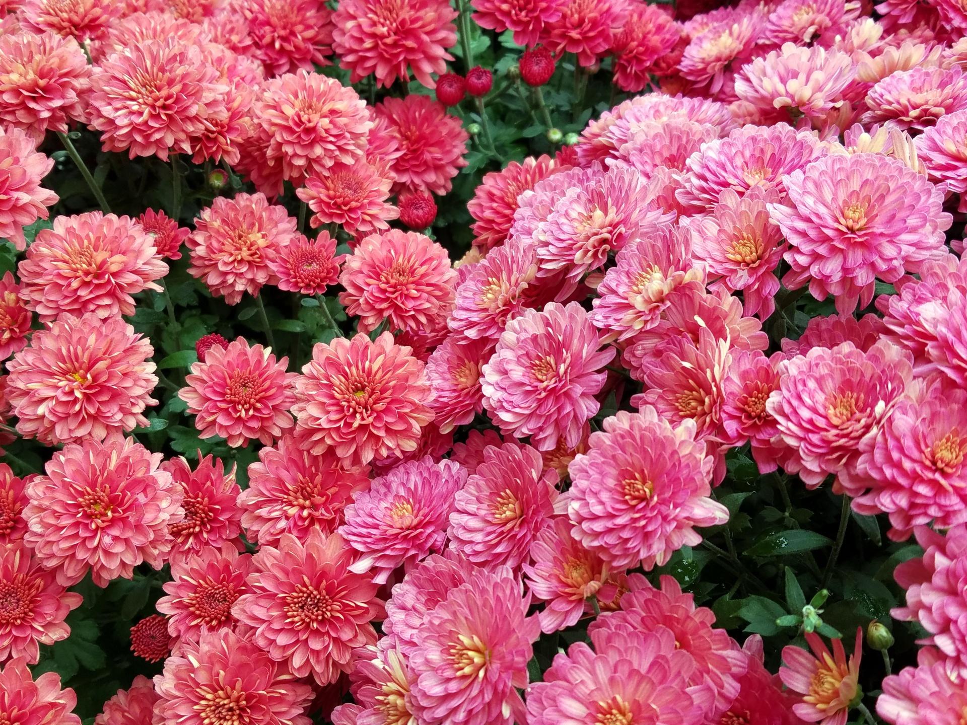 Background,wallpaper,flower,flowers,garden , free image from