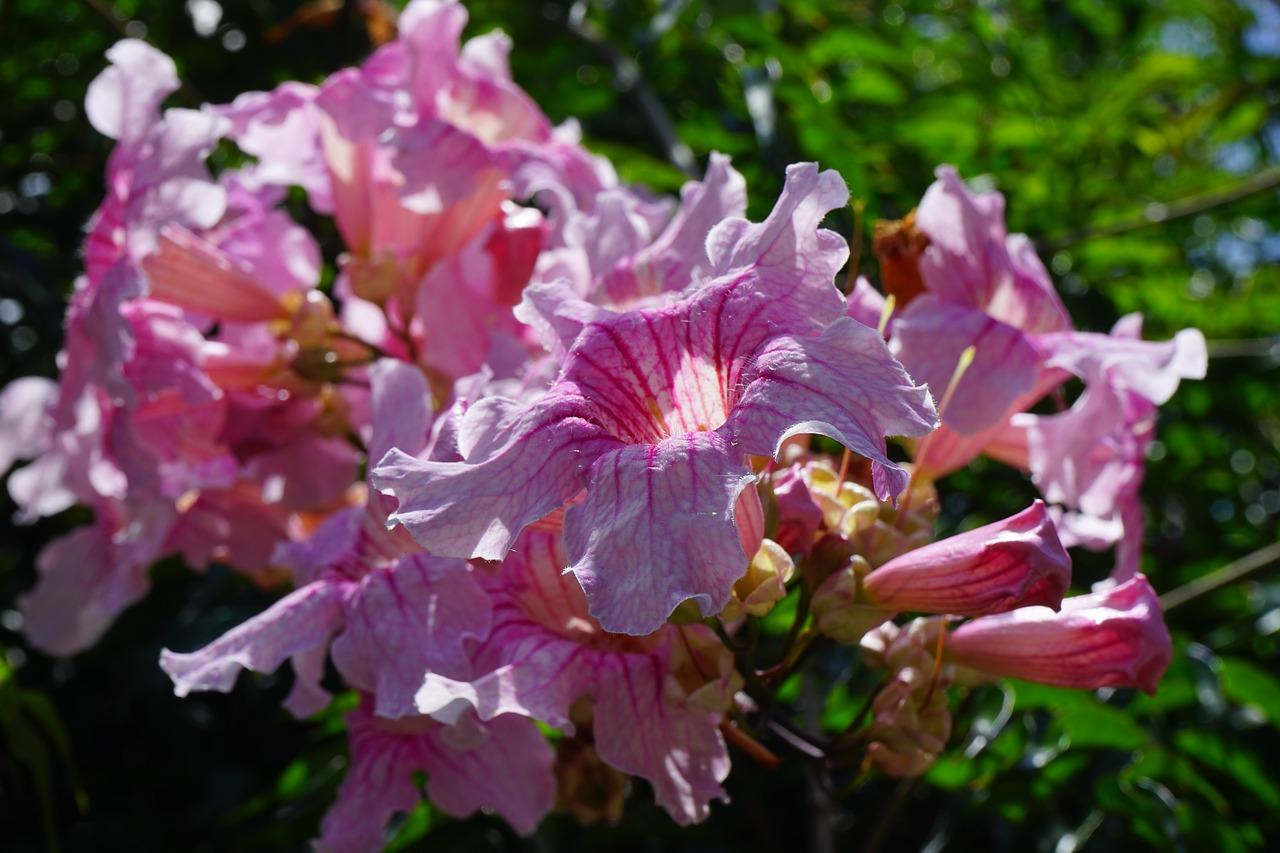Pink trumpet vineflowerblossombloompink free photo from pink trumpet vine flower blossom mightylinksfo