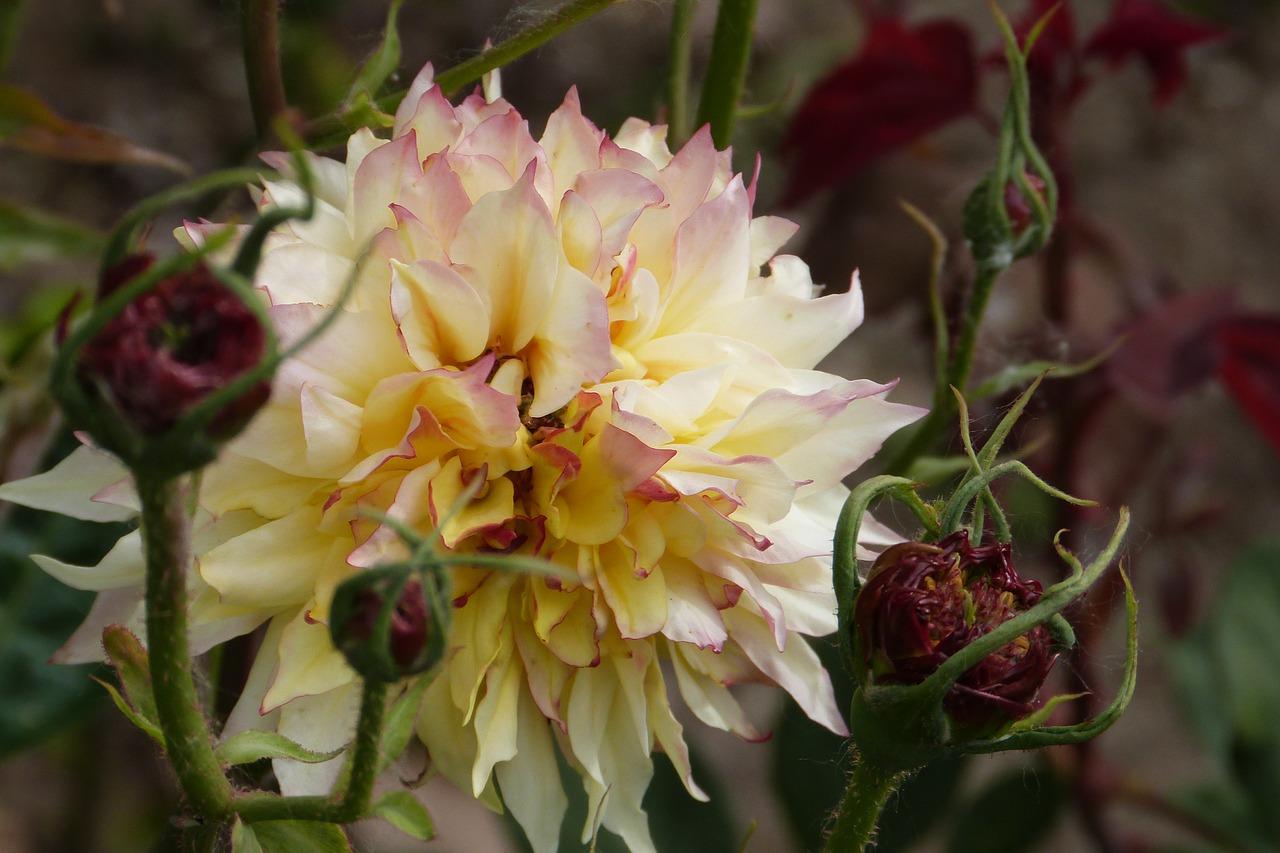 Pink Yellownatureflowerplantsfree Pictures Free Photo From