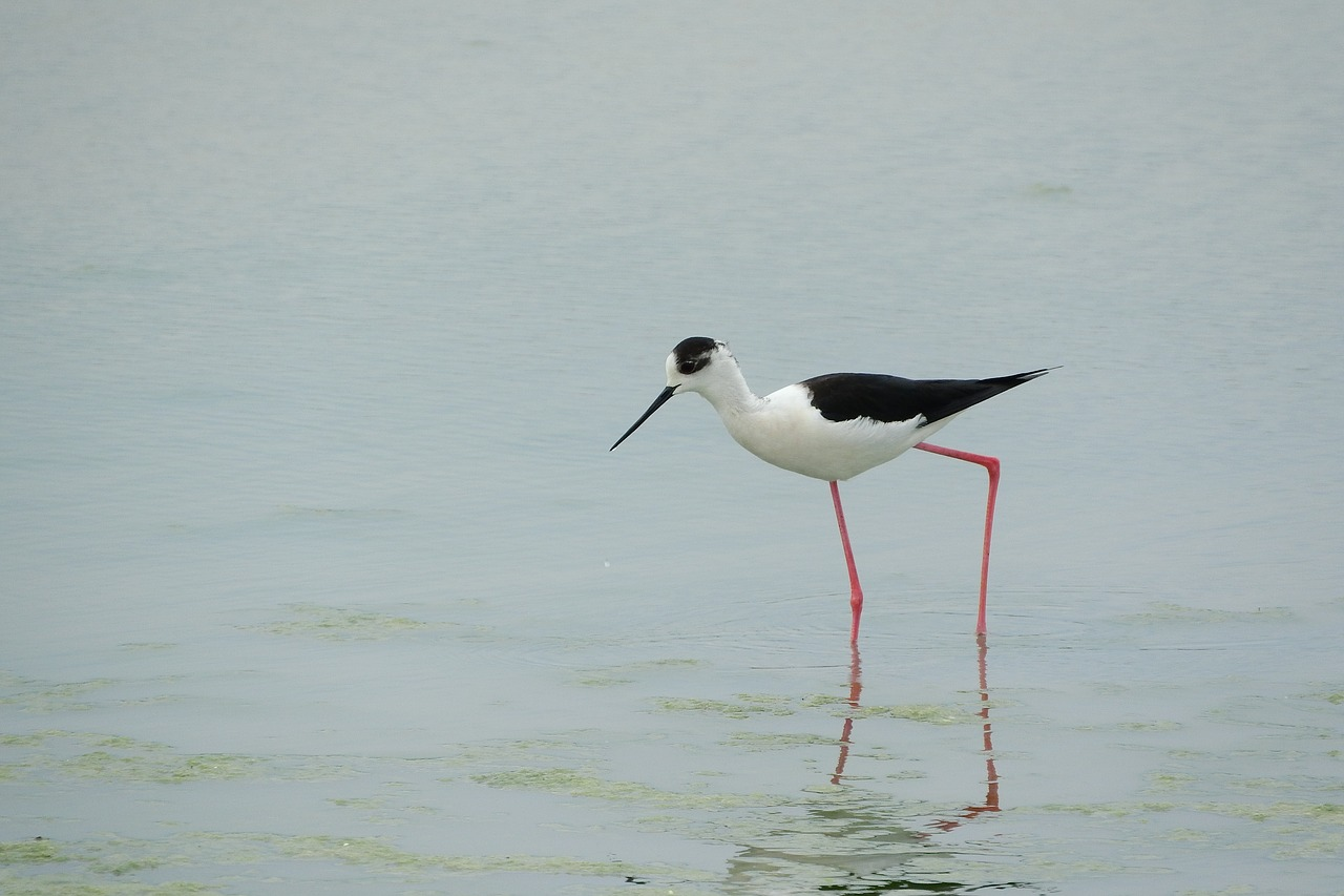 pisila stilt himantopus himantopus wader free photo
