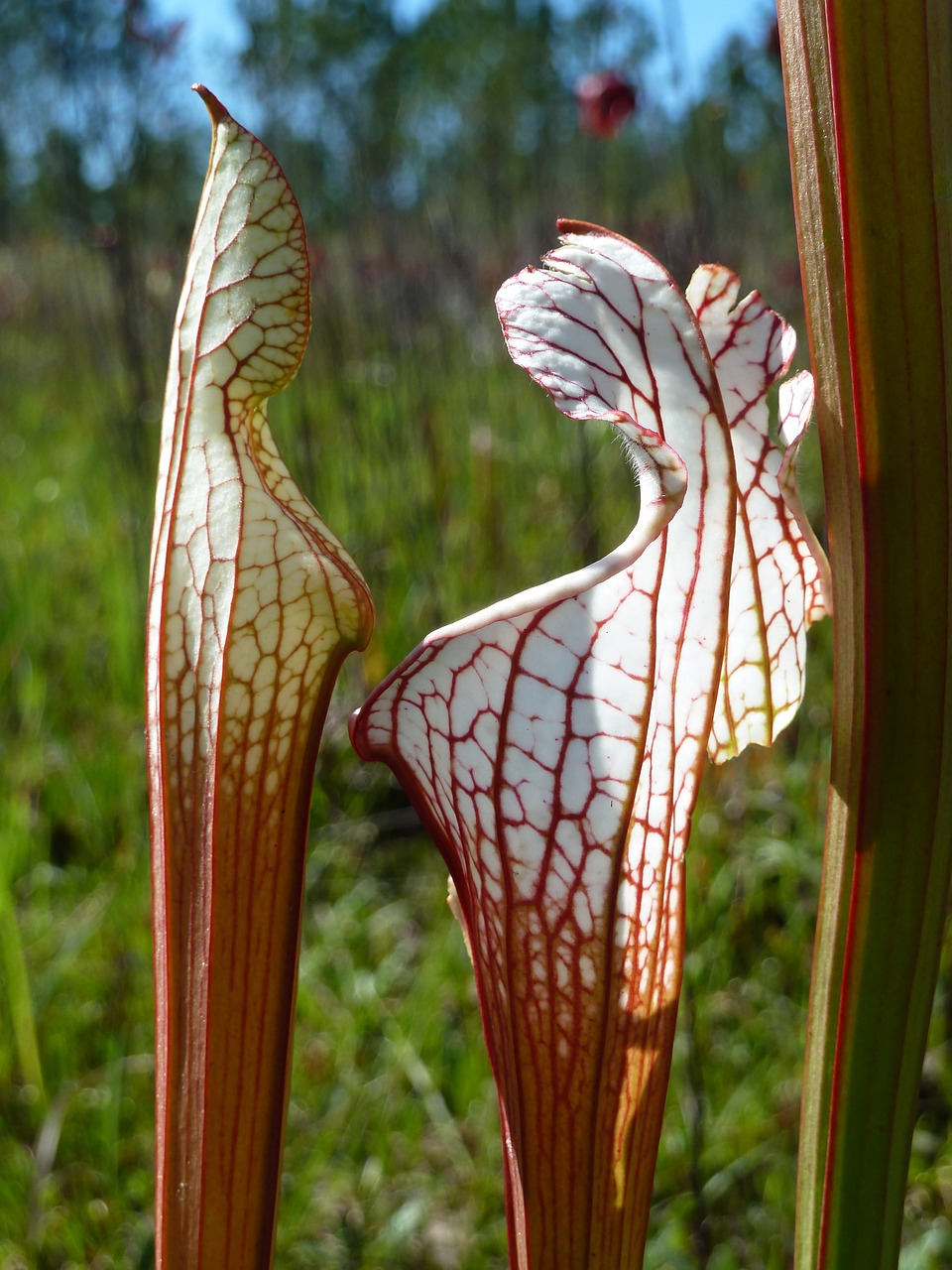 pitcher plant  alabama  carnivorous free photo