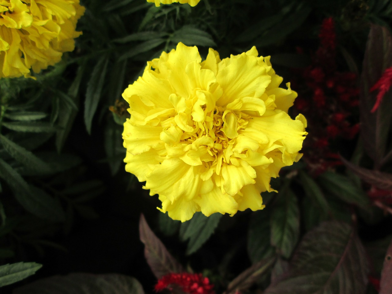plant chrysanthemum yellow free photo