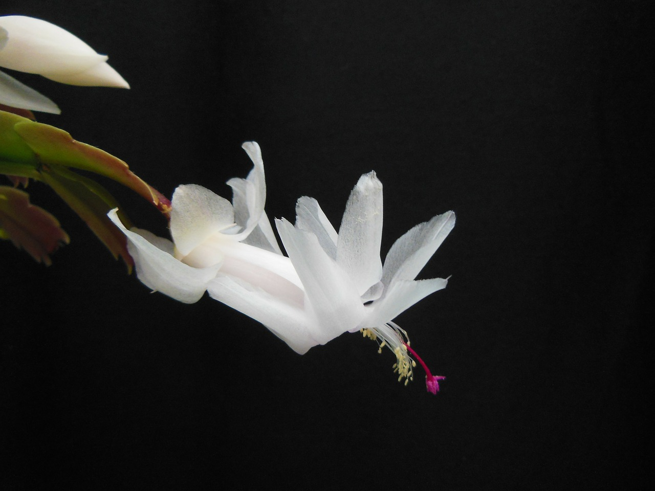 plants flowers christmas cactus free photo