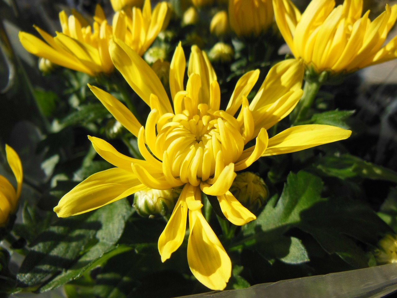 plants flowers chrysanthemums free photo