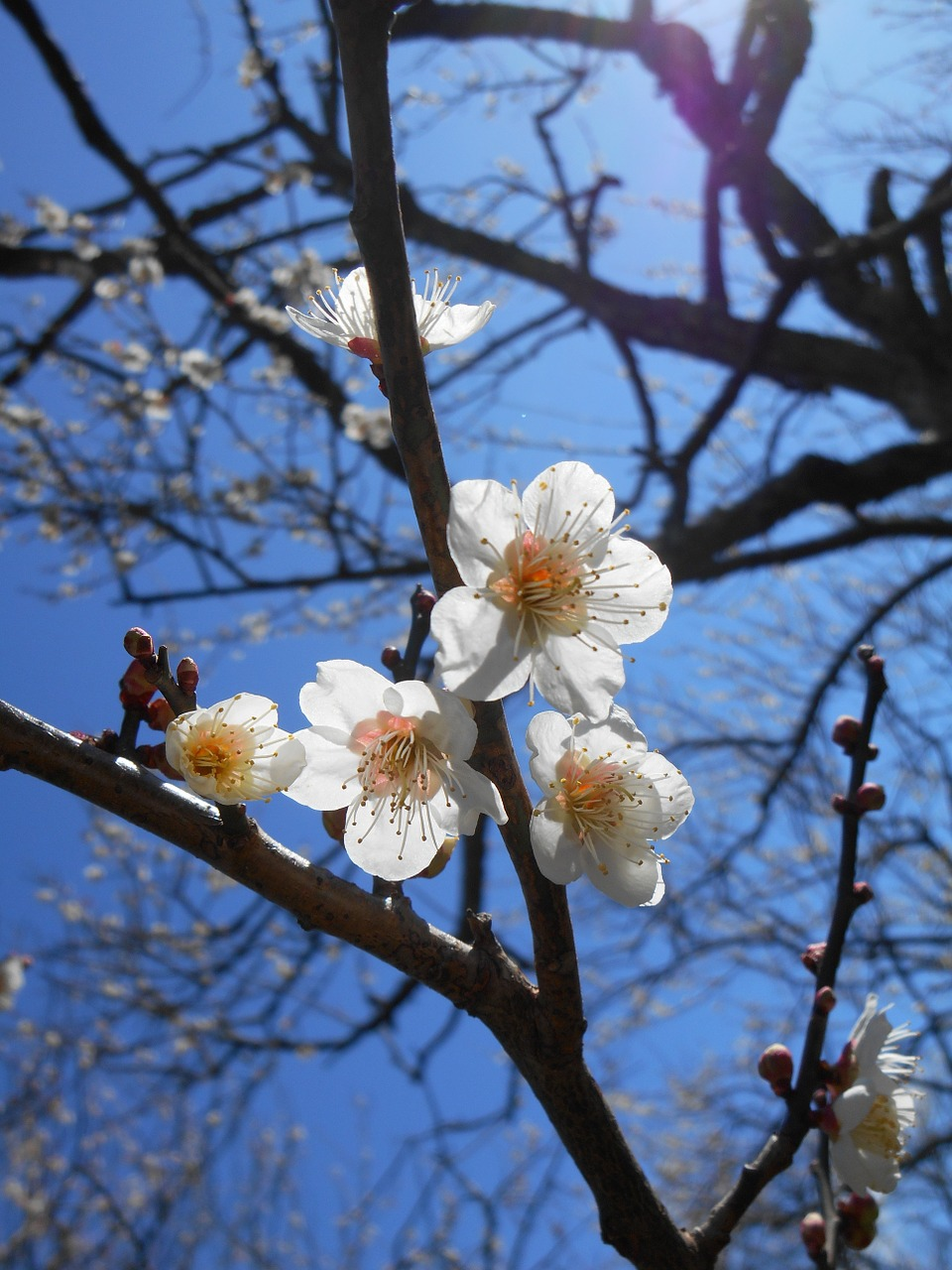 Plumwhite plum blossomsflowers of early springwhite plumflowers plum white plum blossoms flowers of early spring mightylinksfo