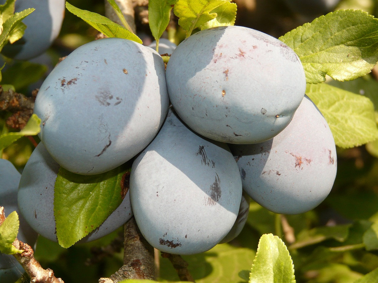 plum fruit blue free picture