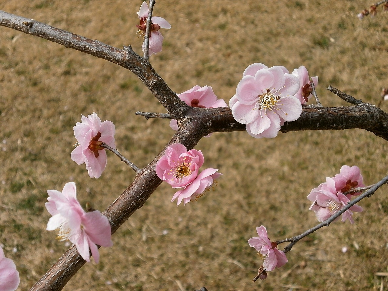 plum plum blossoms spring free photo