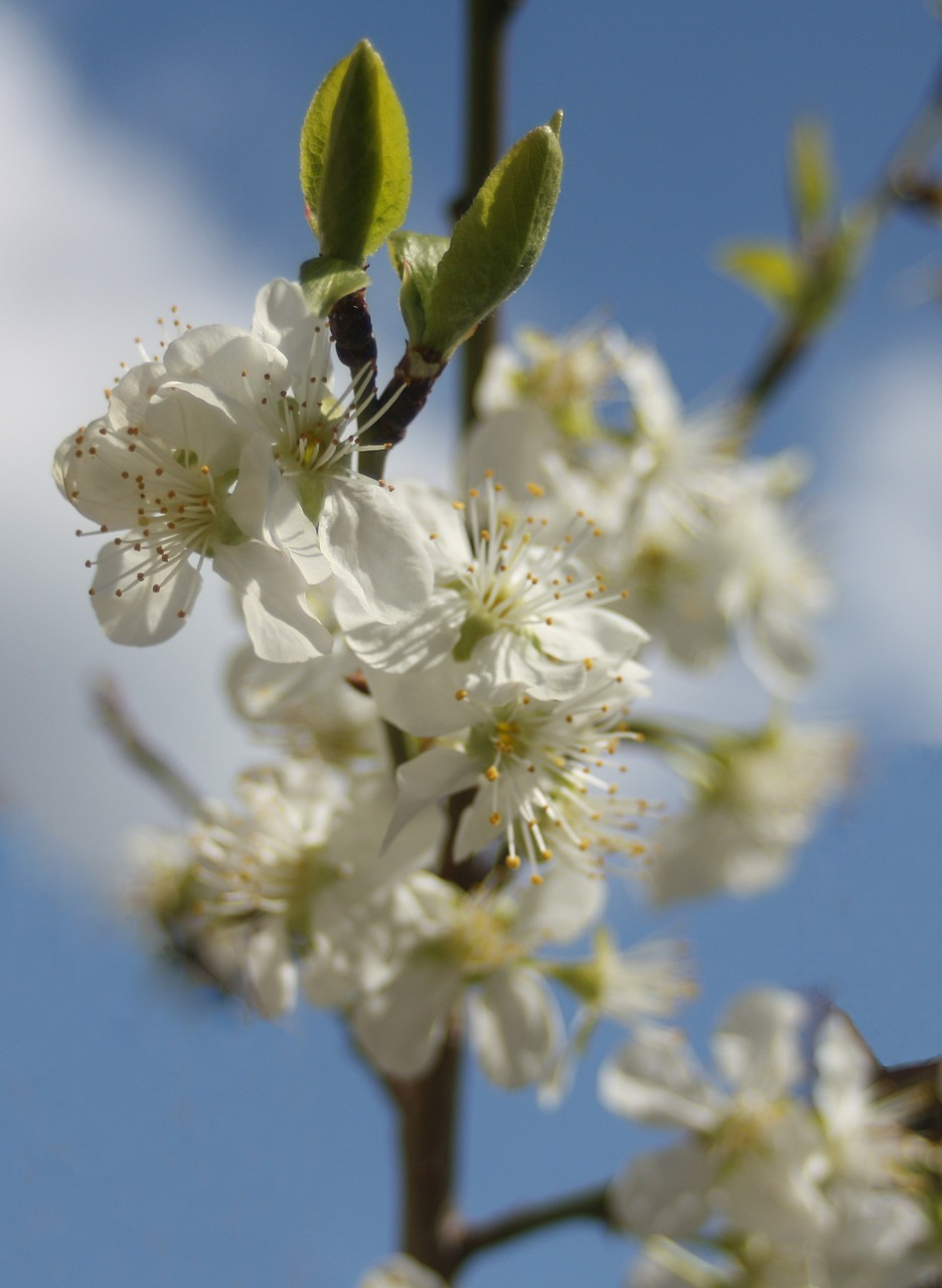 plum plum blossom sky free photo