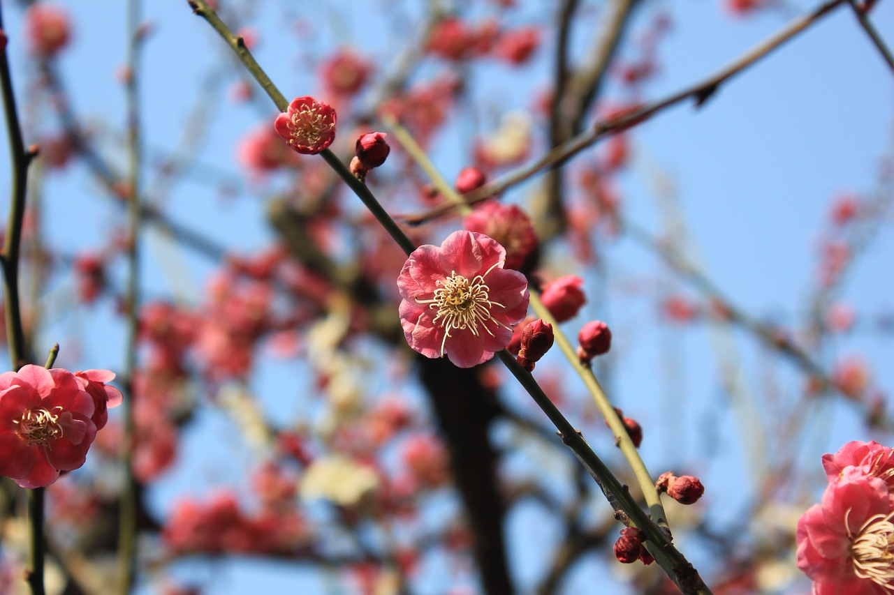 plum blossom spring pink free photo