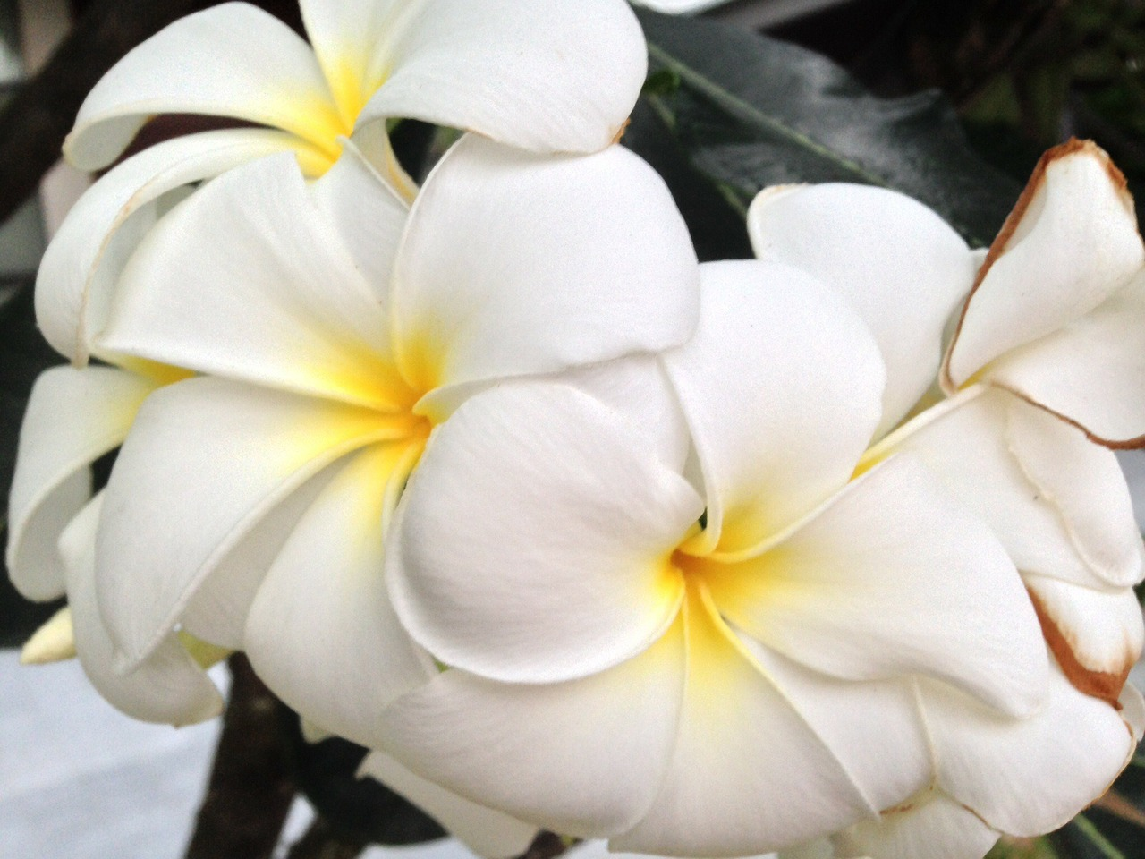 plumeria flowers white free photo