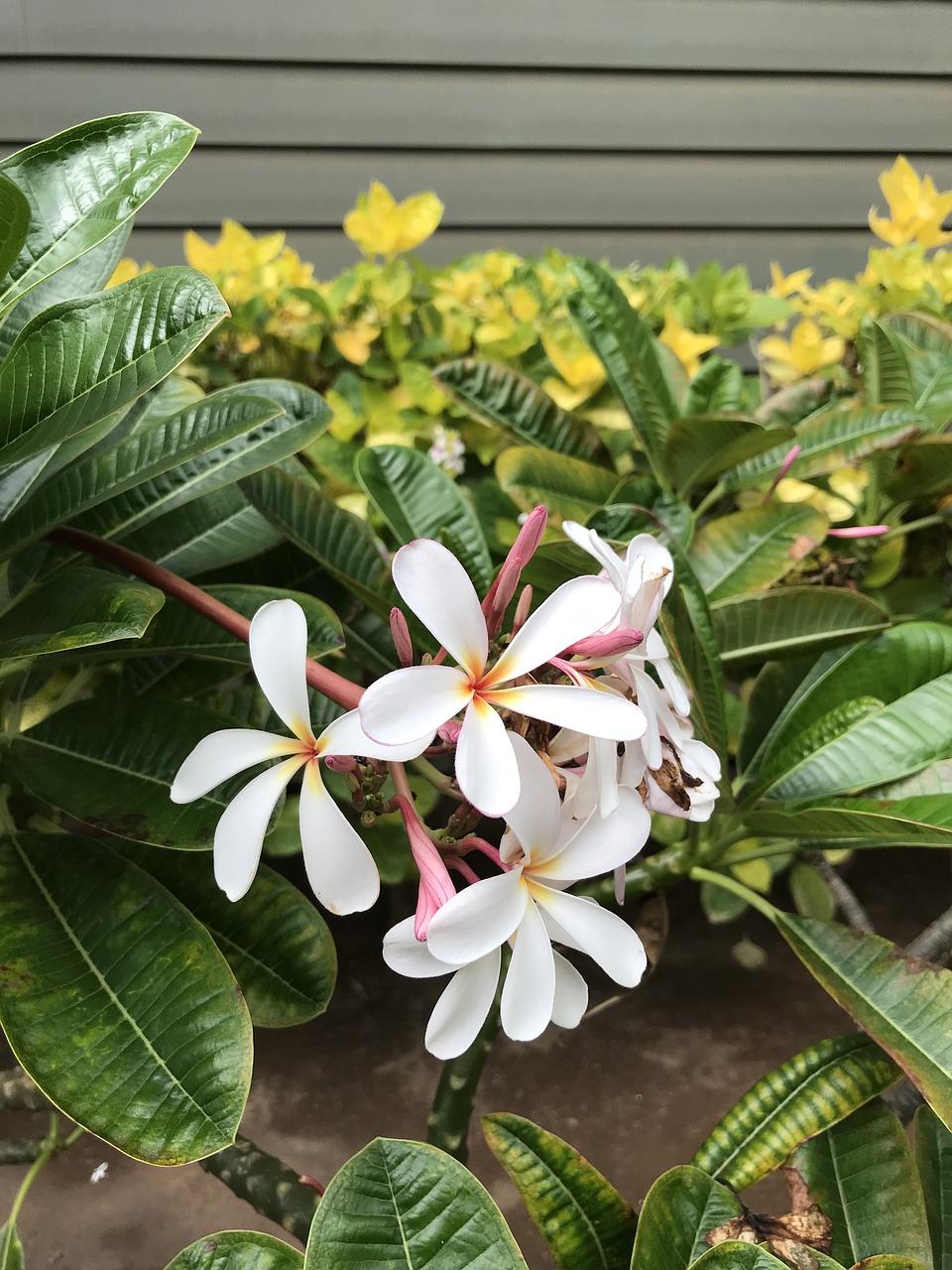 Plumeriaflowershawaii free photo from needpix plumeria flowers hawaii izmirmasajfo