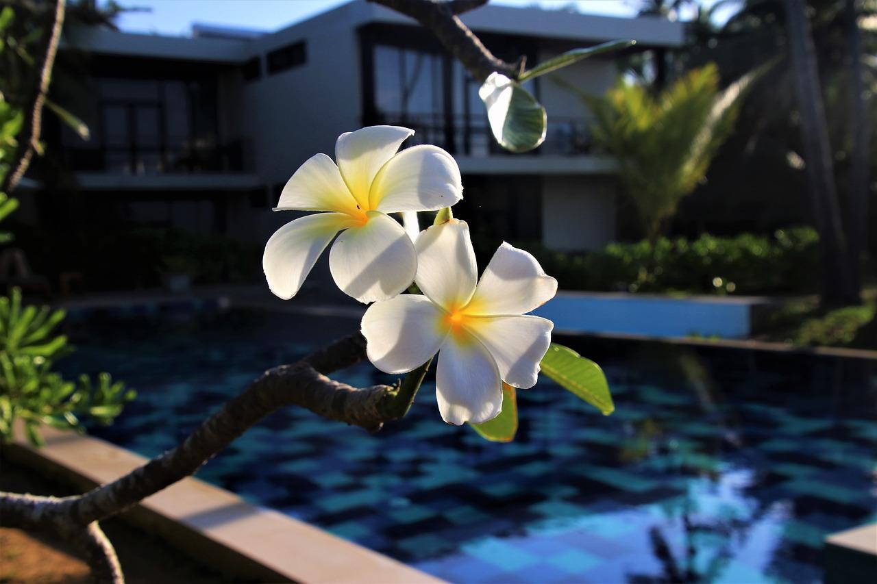 Plumeriaflowerexoticpoolnature Free Photo From Needpix