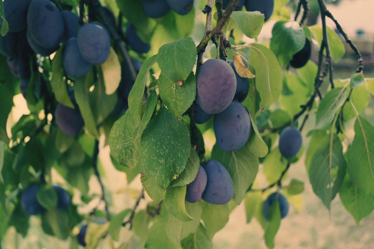 plums fruit plum tree free photo
