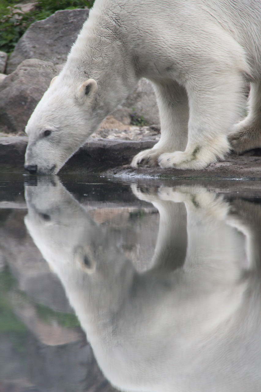polar bear animal mammal free photo