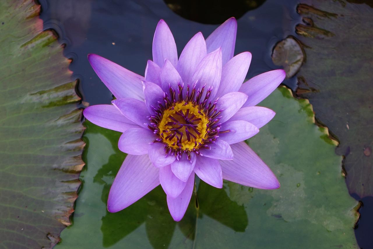 Pondlotusfloweraquatic Plants Free Photo From Needpix