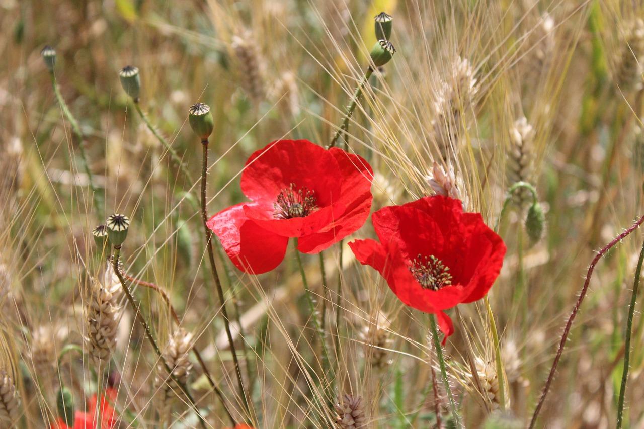 Poppieswheatyellowflowersred Free Photo From Needpix