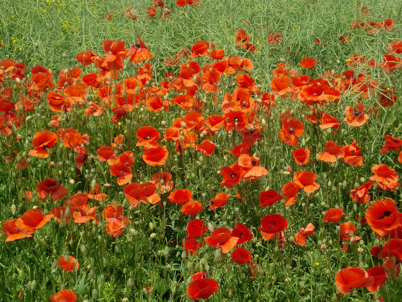 poppies field red poppy free photo