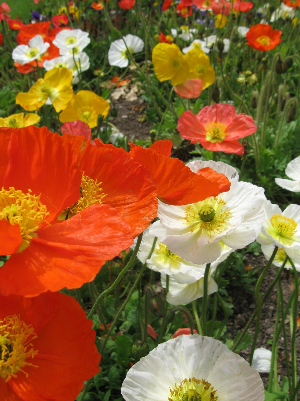 poppies flowers gardens free photo