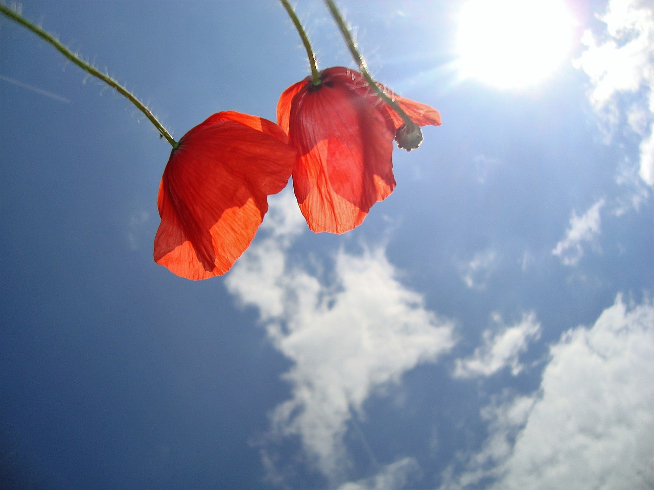 Poppiesflowersskyredplant Free Photo From Needpix