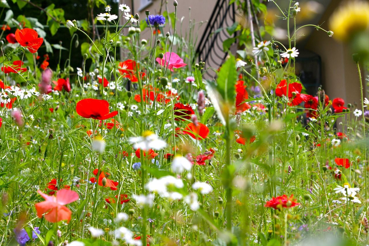 poppies meadow flowers summer free photo
