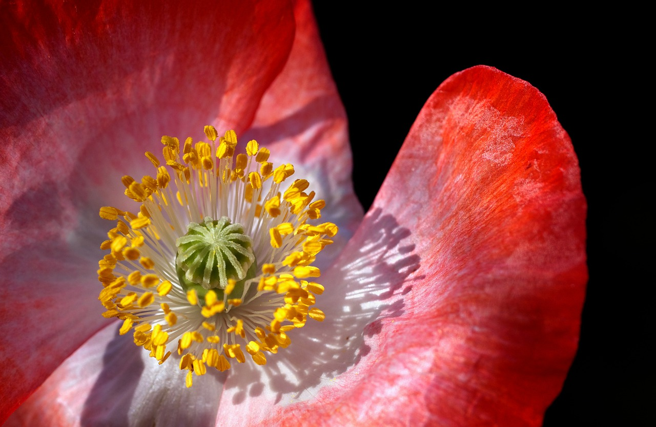 poppy poppy flower macro free photo